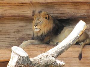 lion-lev